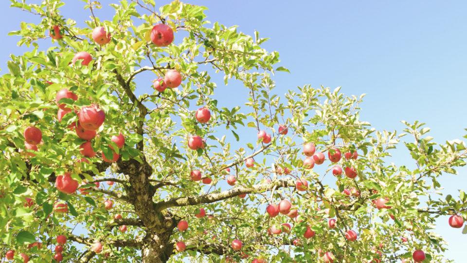 月ともシリーズ-リンゴの木イメージ